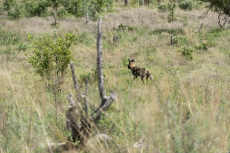 likaon: Africa Wild dog on the move Stock Photo