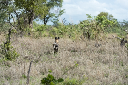 Africa Wild dog on the move Stock Photo
