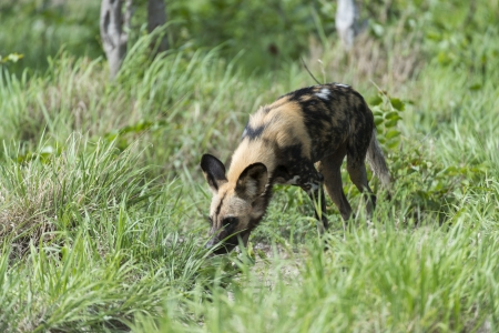 relentless: Africa Wild dog on the move Stock Photo