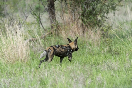 Africa Wild dog on the move Stock Photo - 17238369