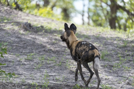African Wild dog on the move Stock Photo - 17238403