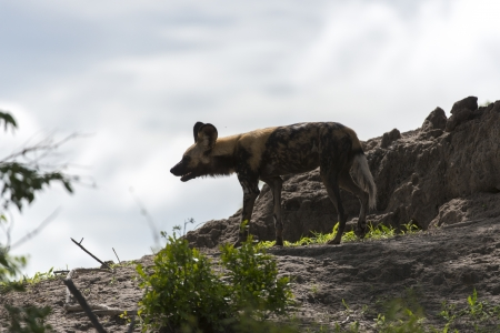 relentless: African Wild dog