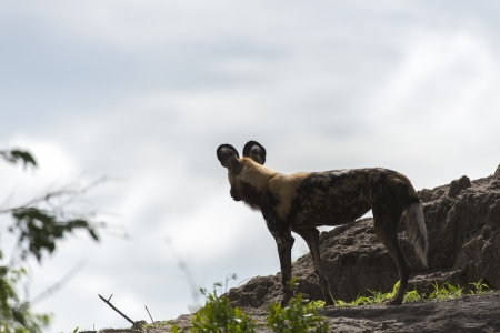 African Wild Dog Stock Photo