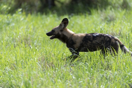 African Wild Dog on the move