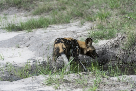African Wild Dog Stock Photo - 17238373