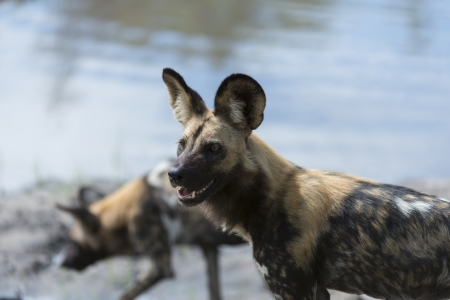 likaon: African Wild Dog Stock Photo
