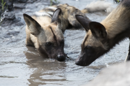 likaon: African Wild Dog drinking water