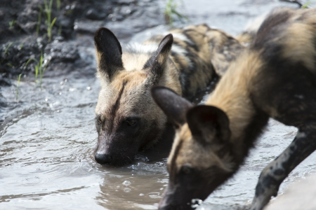 likaon: African Wild Dogs in the water Stock Photo