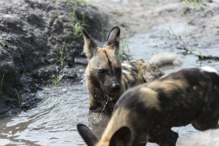 relentless: African Wild Dogs in the water Stock Photo