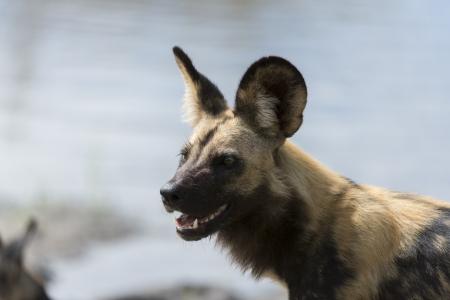 implacable: Sauvage africain portrait de chien