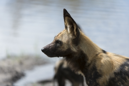 African Wild Dog portrait Stock Photo - 17238379