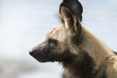 African Wild Dog portrait Stock Photo - 17238375