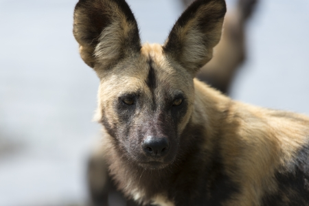 African Wild Dog portrait Stock Photo - 17238376