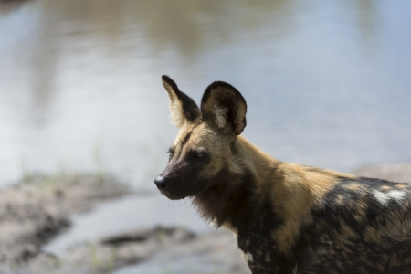 cap hunting dog: African Wild Dog portrait