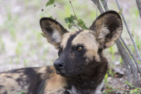 African Wild Dog portrait