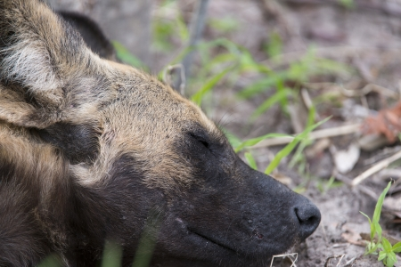 African Wild Dog portrait Stock Photo - 17238394
