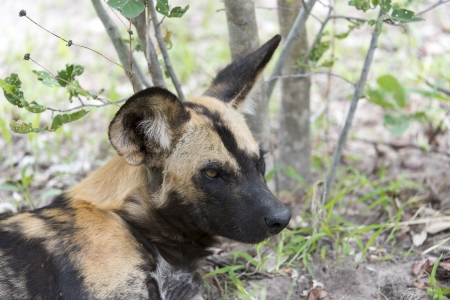 relentless: African Wild Dog portrait