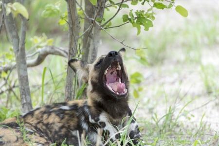 likaon: African Wild Dog yawning