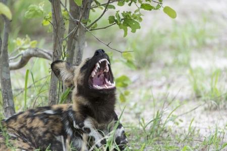 implacable: B�illement de chien sauvage africain
