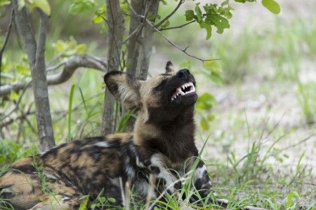 African Wild Dog displaying teeth