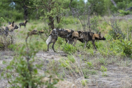 relentless: African Wild Dogs