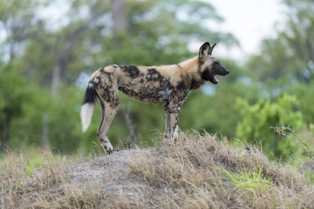 African Wild Dog on a hill Stock Photo