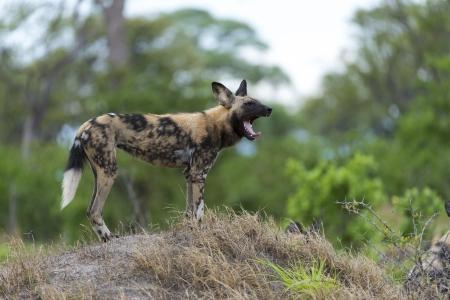 relentless: African Wild Dog yawning