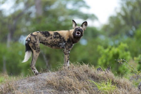 African Wild Dog looking evil