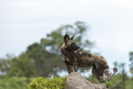 African Wild Dog on a mount Stock Photo