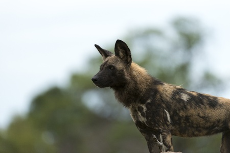 relentless: African Wild Dog on a mount Stock Photo