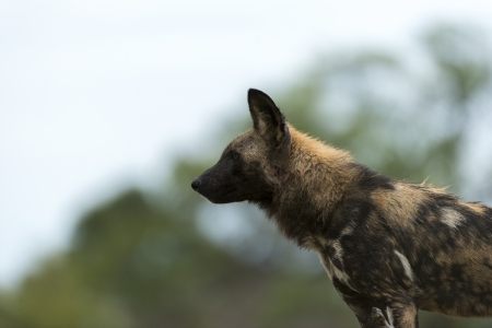 likaon: African Wild Dog  isolated