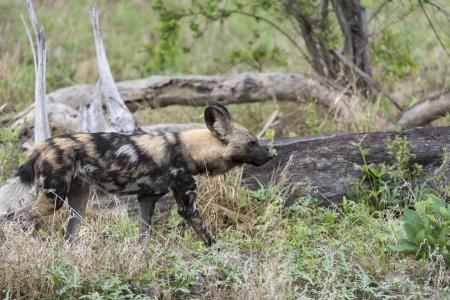 African Wild Dog  lush green  photo