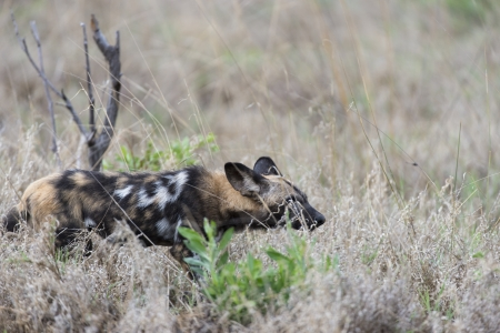 relentless: African Wild Dog Stock Photo