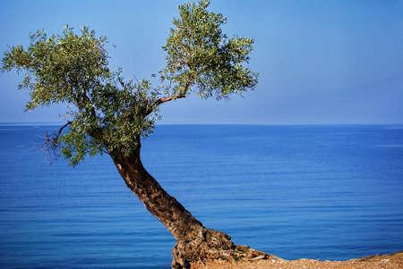 mount pelion olive tree photo