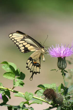 Giant Swallowtail Butterfly Stock Photo - 7393168