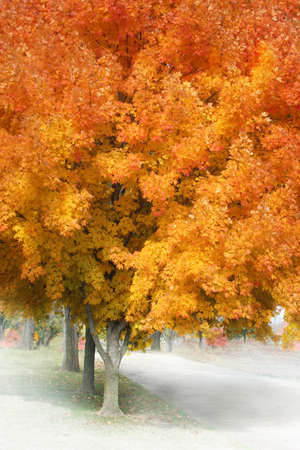 yellow: Orange maple leaves on trees in autumn landscape, warm yellow and red colors in the fall season, beautiful nature image