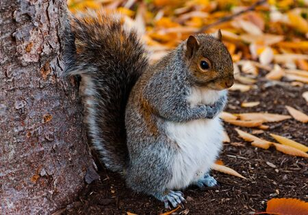Squirrel at the National Mall in Washington DC during autumn  photo