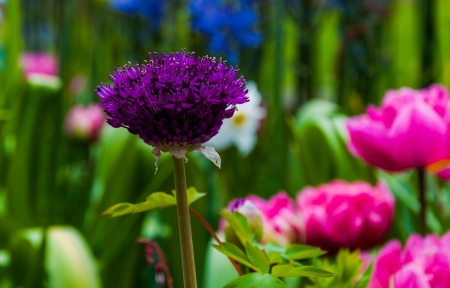 sensation: A purple allium flower. Stock Photo