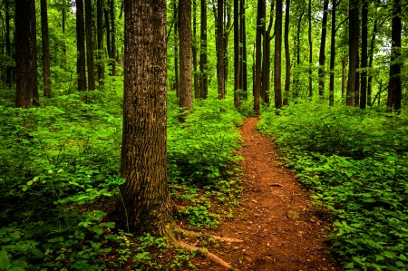Trail through tall trees in a lush forest, Shenandoah National Park, Virginia. photo