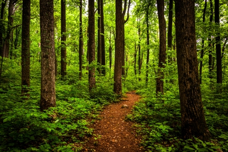 Trail through tall trees in a lush forest, Shenandoah National Park, Virginia.