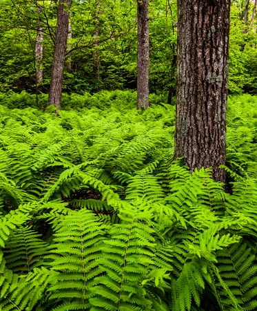 Ferns and trees in a lush forest in Shenandoah National Park, Virginia. Stock Photo