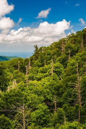 hemlock: Bosque con muchos árboles muertos, vista de Skyline Drive en el Parque Nacional Shenandoah, Virginia.