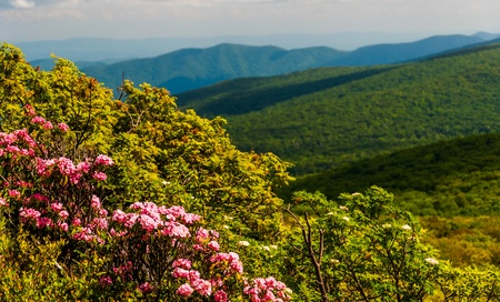 laurel mountain: Mountain laurel and view of the Blue Ridge on Stony Man Mountain in Shenandoah National Park, VA.