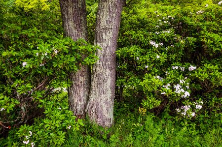 laurel mountain: Tree and mountain laurel in Shenandoah National Park, Virginia. Stock Photo