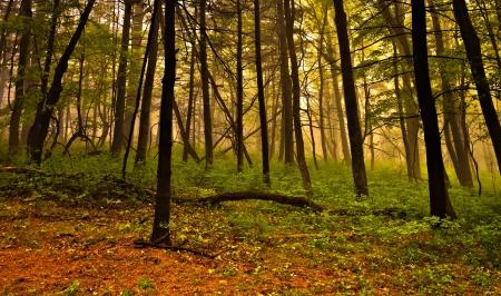 Fog in the forest, Shenandoah National Park, Virginia. photo