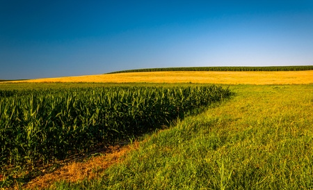 backroad: Clear blue sky over corn fields on a farm in Southern York County, Pennsylvania. Stock Photo