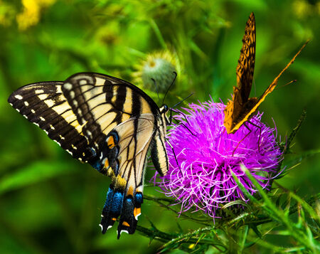 Butterflies on a thistle flower in Shenandoah National Park, Virginia. photo