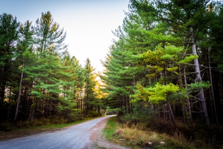 pine trees: Pine trees along a dirt road in Michaux State Forest, Pennsylvania.