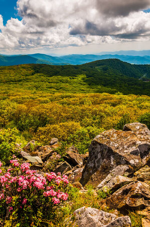 Mountain laurel and view of the Appalachians on Stony Man Mountain, in Shenandoah National Park, Virginia.