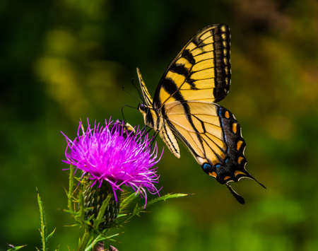 Swallowtail butterfly on a thistle in Shenandoah National Park, Virginia. photo